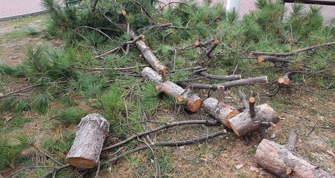 Red Book trees in Crimea are being destroyed