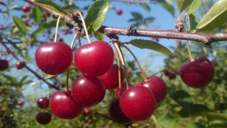 Crimea confirmed: This year fruit will be a delicacy
